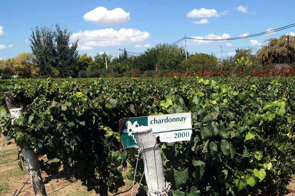 Una vigna coltivata a chardonnay